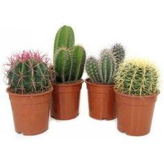 Kaktus Cactus Plants, Planter Pots, Decor, Decoration, Cacti, Cactus, Dekoration, Inredning, Interior Decorating