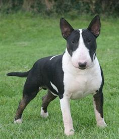 Miniature Bull Terrier picture, it says he's hypoallergenic which if so would be amazing omg