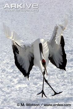 Japanese Crane Animal of the Week Picture of the Day  Japanese Crane displaying in a most awkward fashion.  © Dickie Duckett / www.flpa-images.co.uk