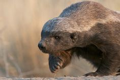 Honey Badger, Central Kalahari Game Reserve, Botswana   Photo by Sean Crane