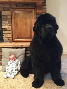 — Newfoundland dogs, known for their gentle demeanor...