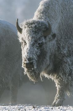 """""""Frost Covers The Coat Of An American."""" my favorite Tom Murphy photo Yellowstone Majestic Animals, Like Animals, Animals And Pets, Wildlife Photography, Animal Photography, Beautiful Creatures, Animals Beautiful, Tom Murphy, Buffalo Animal"""