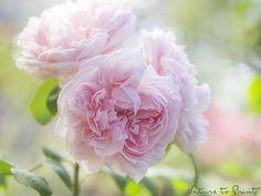 Romantische Rosen. Rosenbilder für Romantiker.