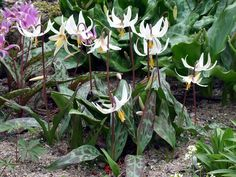Oregon Fawn Lily  Erythronium oregonum - Oregon Fawn Lily Erect flower stem, pair of leaves mottled with large patches of white, light green, brown, or greenish black, 4–9 in. long, about half as wide, wavy-edged. Grows in light woods, open meadows, at low elevations. Z5 Blooms March-April