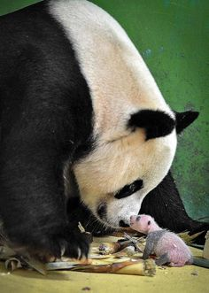 "Giant panda ""Ju Xiao"" plays with one of her triplet cubs at Chimelong Safari Park in Guangzhou, capital of south China's Guangdong province on Aug. 17, 2014. [Photo/Xinhua]"