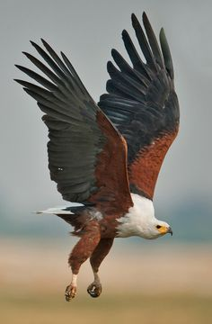The African Fish Eagle - Haliaeetus vocifer, is a large species of eagle that is found throughout sub-Saharan Africa wherever large bodies of open water occur that have an abundant food supply. Photo by outdoorphoto.co.cz.