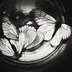 bw butterflies