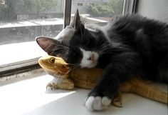 Cat loves Bearded Dragon - Find and Share funny animated gifs Dragon Pet, Animal Gato, My Animal, Funny Cats, Funny Animals, Cute Animals, Gato Gif, Bearded Dragon, I Love Cats