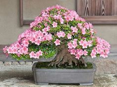 Flowering Bonsai Tree, Bonsai Tree Types, Bonsai Trees, Bonsai Art, Bonsai Garden, Ikebana, Landscape, Floral, Flowers