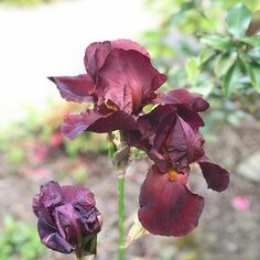 The most magnificent rich purple-brown bearded iris growing right outside our apartment door #iris #frenchgarden #irishflorist #frenchholiday #cancale #brittany #bretagne