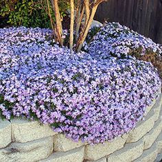 Phlox subulata 'Emerald Blue' gives a unique gift of abundant deep-blue flowers on a thick mat of low growing needle-like foliage. Use as an edging in flower beds with spring blooming purple and reds