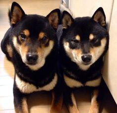 Shiba Inu... Black and Tan