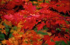 ichigyoji maple | Latin Name: Acer palmatum 'Ichigyoji'