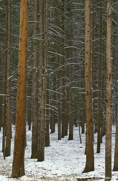 Yellowstone National Park Photos - Lodge Pole Pines