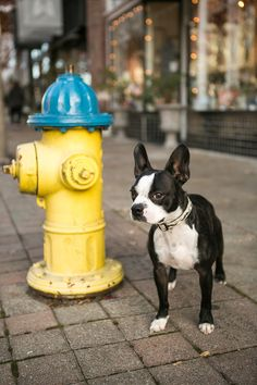 Boston Terrier and fire hydrant ©Mandy Whitley Photography | lifestyle dog photography