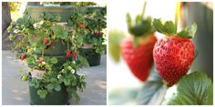This DIY strawberry tower has a built-in water source AND is made from recycled materials.
