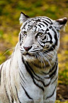 Weißer bengalischer Tiger #tiger #animal #white ♥ stylefruits Inspiration ♥