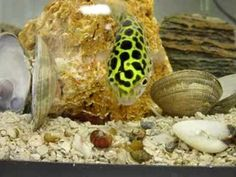Example of green spotted puffer.
