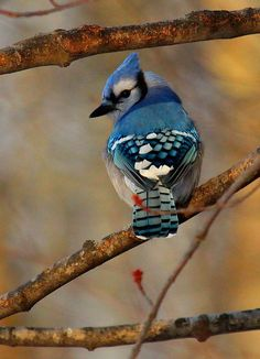 Gorgeous Eastern Blue Jay ~ bold and beautiful, abrasive and occasionally annoying. Pretty Birds, Love Birds, Beautiful Birds, Animals Beautiful, Jay Bird, Blue Bird, Animals Images, Cute Animals, Parus Major