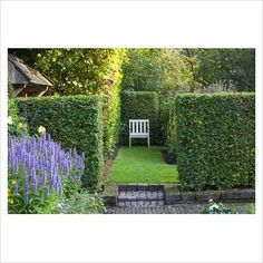 Carpinus betulus hedge - GAP Photos - Specialising in horticultural photography