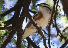 Brubru (Nilaus afer)- Proud birding moment, only a few days after arriving in TZ, when I could win an argument with a bird expert in whether it was a Brubru or a chin-spot Batis (tricky, if all you see is a brown, white, and grey fluffball flying past).