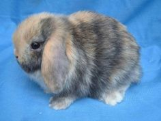 Image detail for -Purebred Holland Lops and Neth. Dwarf bunnies for sale. for sale in ...