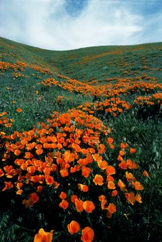 """ walking through gentle rolling hills in the Antelope Valley California Poppy Reserve. Orange Aesthetic, Nature Aesthetic, Flower Aesthetic, California Poppy, Valley California, Antelope Valley Poppy Reserve, Beautiful World, Beautiful Places, Landscape Photography"