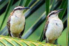 Costa Rica, Birds, Animals, Animaux, Bird, Animal, Animales, Animais