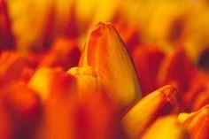 Tulips Orange Yellow Focus Flowers Buds HD Wallpaper