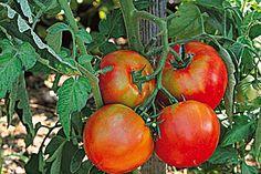 Tailler les légumes au potager - Tomates