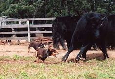 Working cattle Everyday Workout, Horses And Dogs, Working Dogs, Livestock, Collie, Dog Breeds, Sheep, Cow, Cattle Dogs