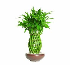 Lucky Bamboo Pineapple, an awesome centerpiece for my new dining set! Cactus Plants, Garden Plants, Bonsai Tree Types, Bonsai Trees, Bamboo Species, Lucky Bamboo Plants, Tree Shop, Rock Decor, Large Planters