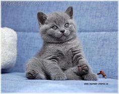 British short hair(blue) kitten :D
