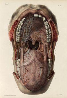 biomedicalephemera:  Mouth, oropharynx, and detail of oropharyngeal nerve Traité complet de l'anatomie de l'homme comprenant la medecine operatoire, par le docteur Marc Jean Bourgery. Nicolas Henri Jacob (artist), 1831.