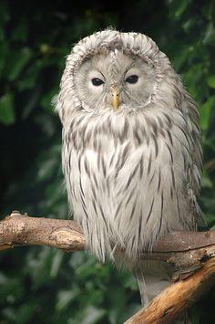 WHITE OWL ~ Cumbria, England