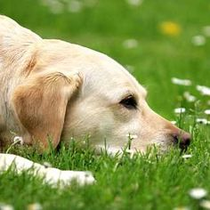Is aromatherapy safe and beneficial for dogs? How can we use essential oils safely with dogs? What are some unsafe essential oils for dogs? What precautions should we take when using aromatherapy on dogs? Read this page to find out. Aromatherapy For Dogs, Itchy Dog, Are Essential Oils Safe, Urinary Incontinence, Oils For Dogs, Old Dogs, Pet Health, Health Tips, Dog Friends