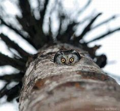 Owl looking down at you from inside tree - Greenpeace.