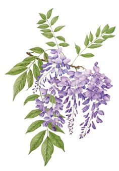 [may-the leaves] Wisteria © Eiko T Takano SBA Botanical Tattoo, Botanical Drawings, Botanical Flowers, Botanical Prints, Art Floral, Watercolor Flowers, Watercolor Paintings, Watercolour, Illustration Blume