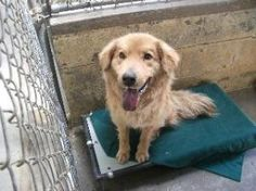 3/27/13 Shelby is an adoptable Golden Retriever Dog in Frankfort, KY. Shelby was brought to the shelter as a stray and was never reclaimed.  He is approximately 3 years old and weighs 46 lbs.  He is a fluffy ...