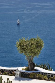 Olive tree by the sea, Santorini, Greece