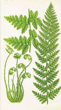 BioDivLibrary fern