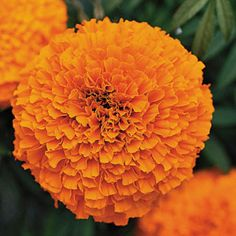 Garland Orange Marigold Seeds:  The star of our trial gardens this past summer, Garland Orange is a tall, long-stemmed, double-flowered African Marigold, magnificent and heavy-flowering all summer long. A far cry from the neat, petite bedding plants many of us are used to, this majestic showstopper deserves a place of honor in the annual garden!