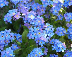 Myosotis sylvatica 'Blue Ball' or forget-me-not. Biennial grows to 50cm x 50cm. Small bright blue flowers in spring. Full sun to part shade