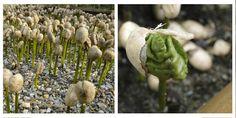 ¿#SabíasQue las semillas de café que germinan se llaman fósforos?