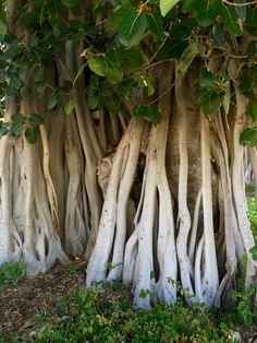 Townsville Fig - tree growth root
