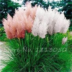 500 Pcs Pampas Garss,Pampas Seeds,Indoor Bonsai Plant,Ornamental Plant Flowers Cortaderia Selloana Grass Seeds for Home Garden