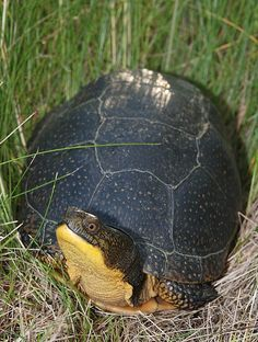 Blandings turtle - (Emys blandingii or Emydoidea blandingii) by antonsrkn Blanding's Turtle, Turtle Time, Tortoise Turtle, Land Turtles, Cute Turtles, Sea Turtles, Terrapin, Animals Beautiful, Cute Animals
