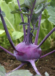 Wussten Sie, dass man Kohlrabi bis in den Sommer hinein pflanzen kann? Wenn Sie diese Tipps beachten, wachsen die knackigen Knollen rasch und sind schon wenige Wochen nach dem Setzen der Jungpflanzen erntereif.