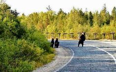 Momma Bear checking for traffic before letting her Cubs cross the road.