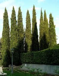 florentine cypress trees - Google Search